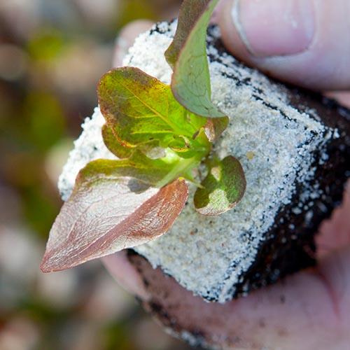 Plant Sla