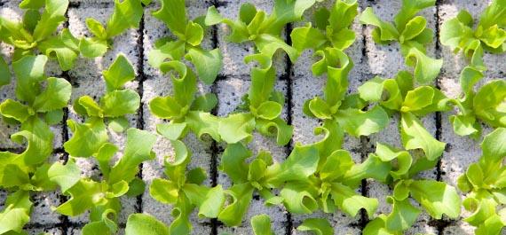 Blattgemüse-Pflanzen
