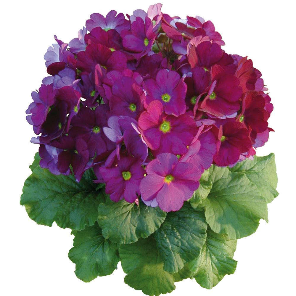 Primula Touch Me® Large Violet