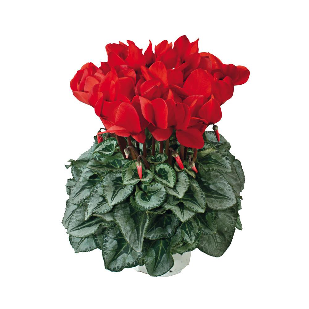 Cyclamen Halios® Decora Rouge 2210