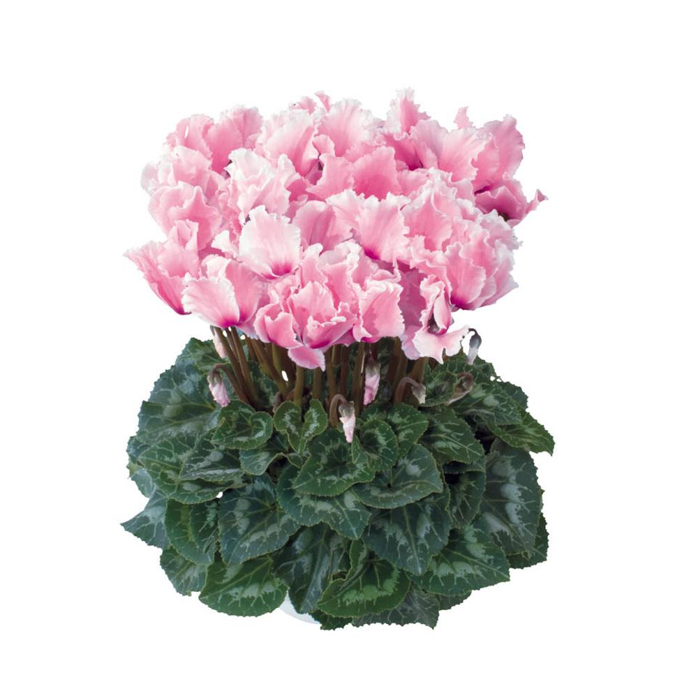 Cyclamen Halios® Curly Fuchsia Clair & Flamme 2565