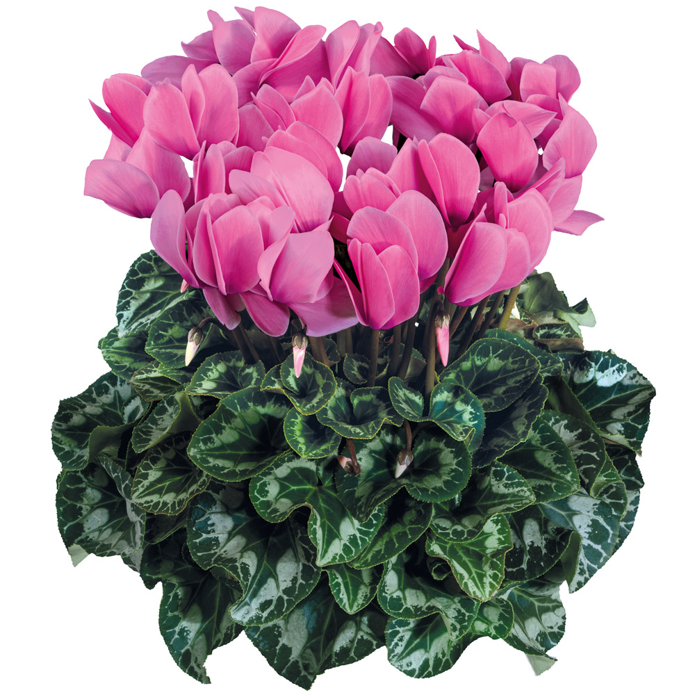 Cyclamen Halios® Fuchsia Clair 2082