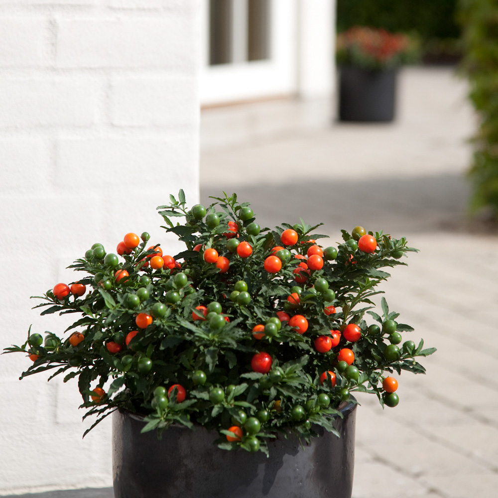 Solanum Apollo
