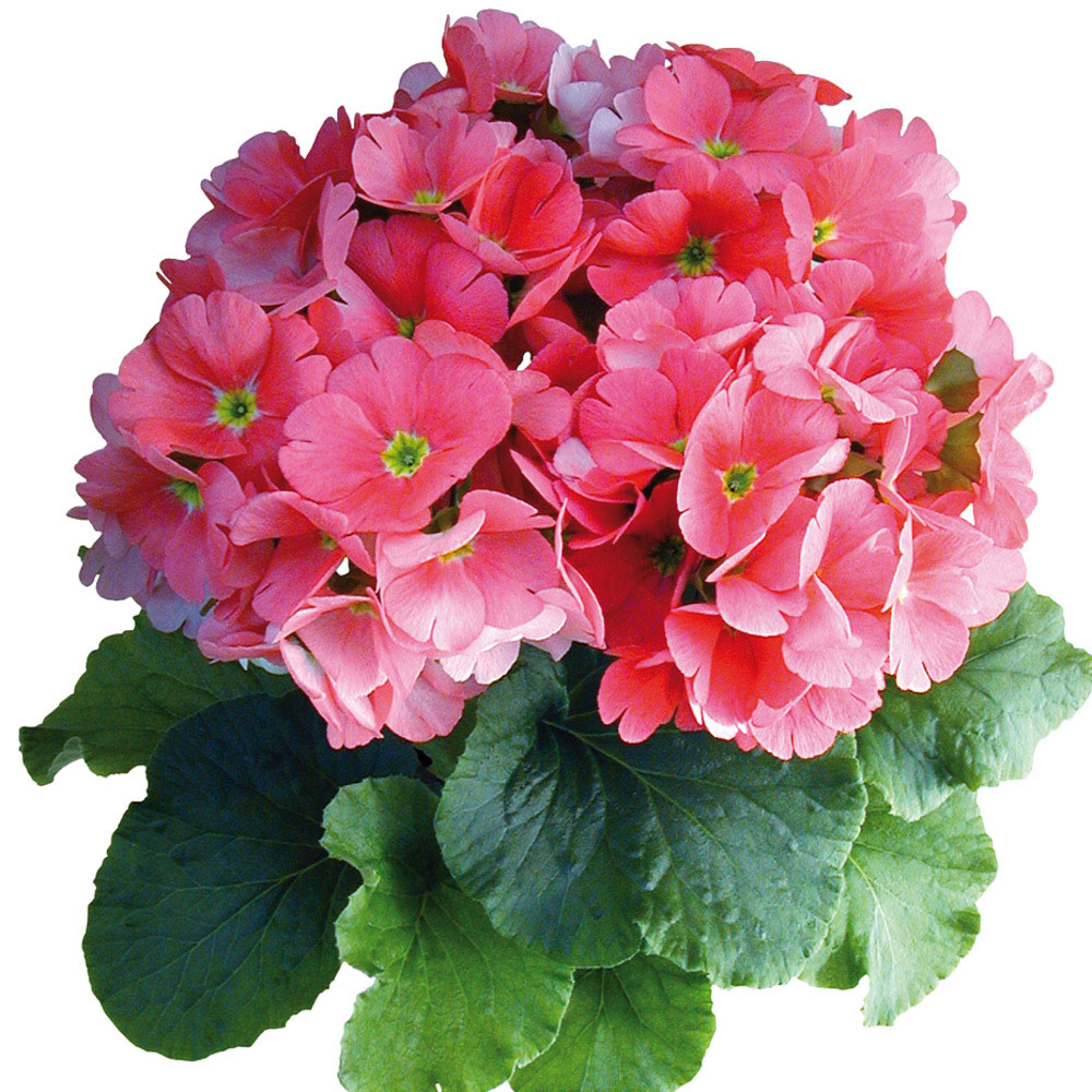 Primula Touch Me® Large Pink