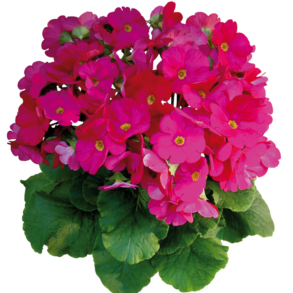 Primula Touch Me® Large Magenta