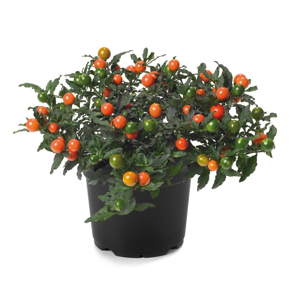 Solanum Tucana