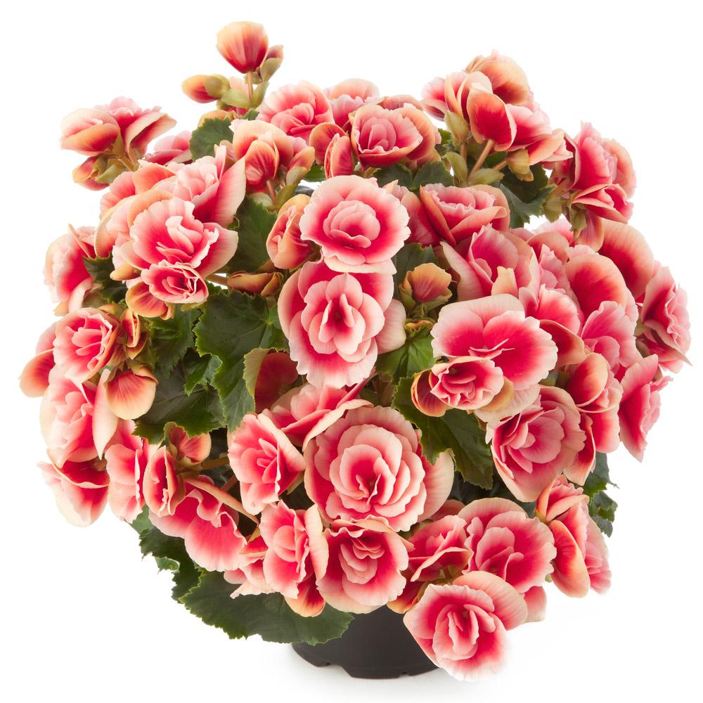 Begonia Barkos-Collection Borias℗
