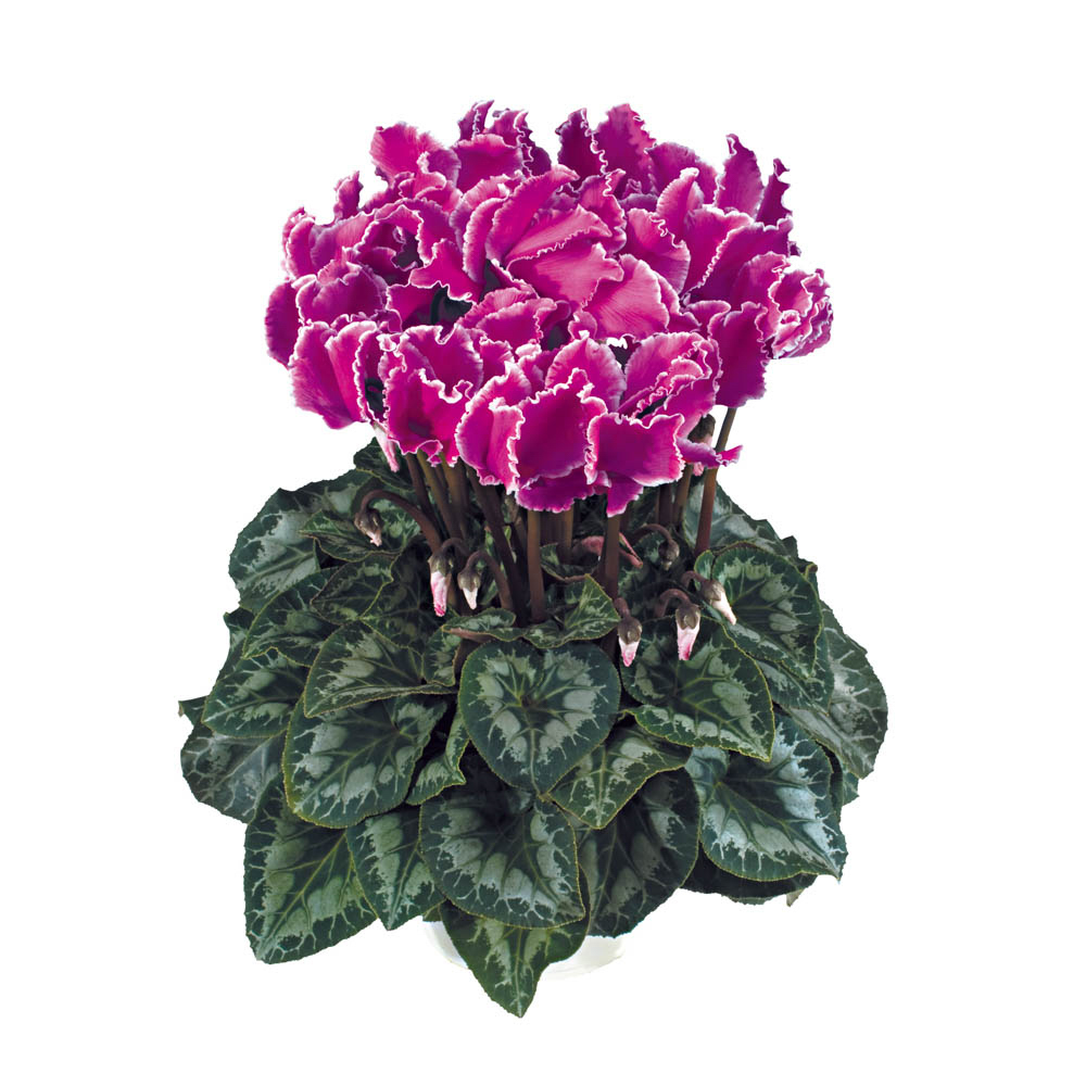 Cyclamen Halios® Curly Violet Lisere 2595