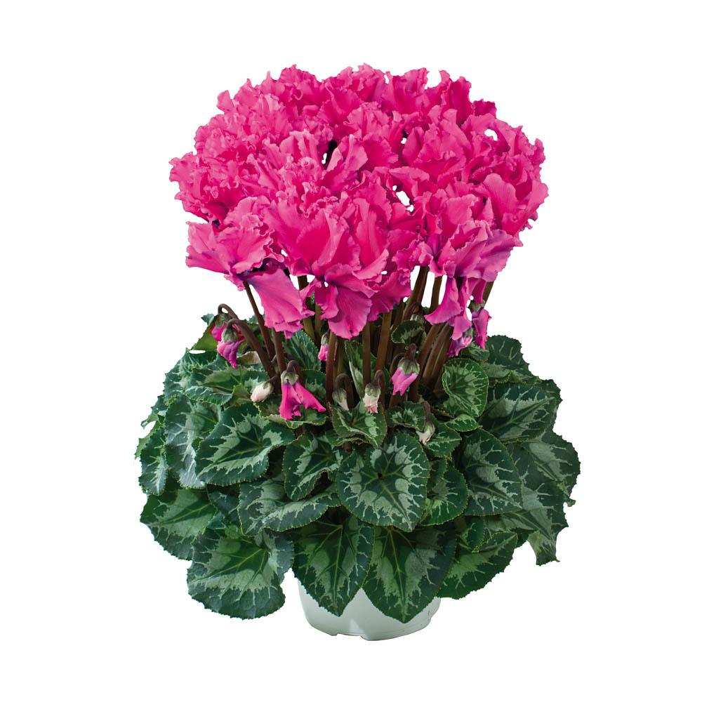 Cyclamen Halios® Curly Fuchsia Vif 2471