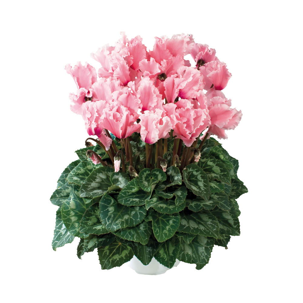 Cyclamen Halios® Curly Rose Saumone & Flamme 2450