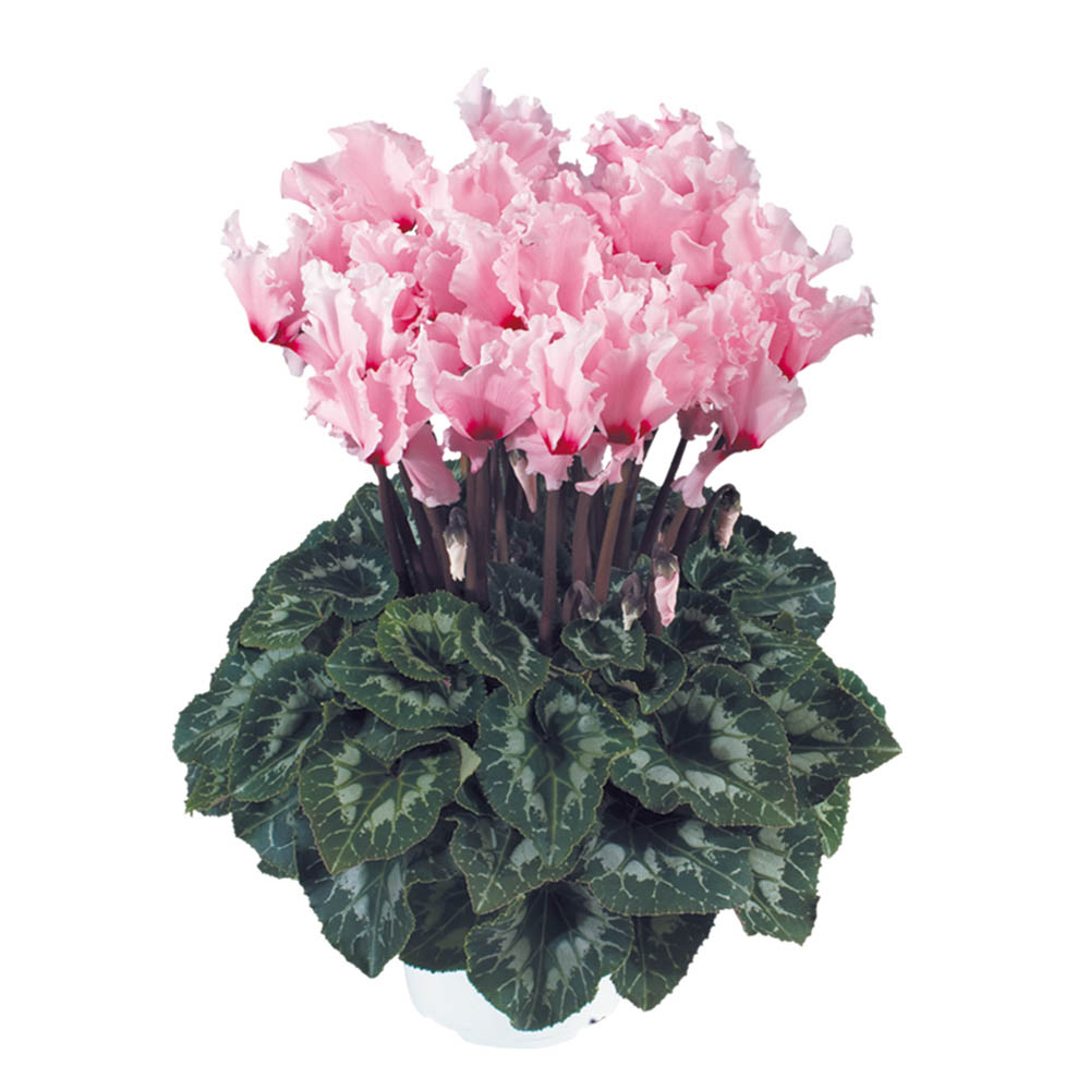 Cyclamen Halios® Curly Rose Clair Oeil Magenta 2461
