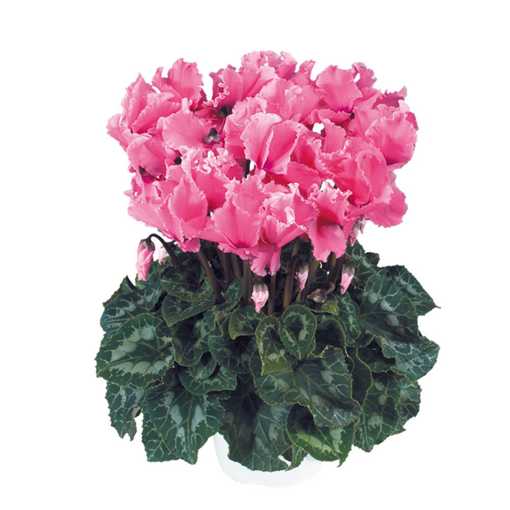 Cyclamen Halios® Curly Fuchsia 2470