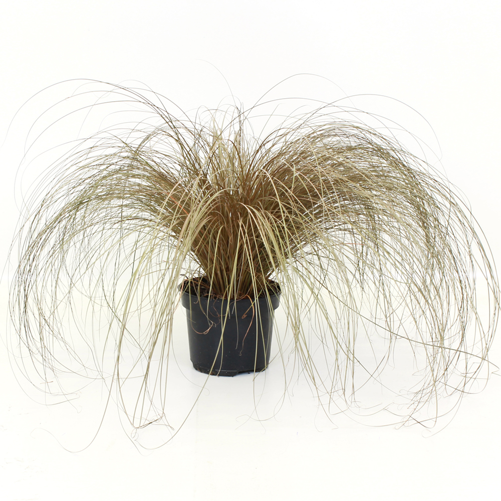 Carex Bronze