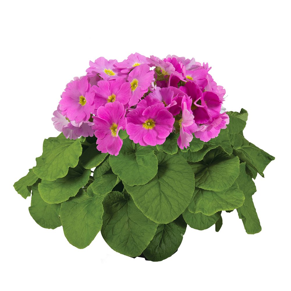 Primula Touch Me® Large Rose