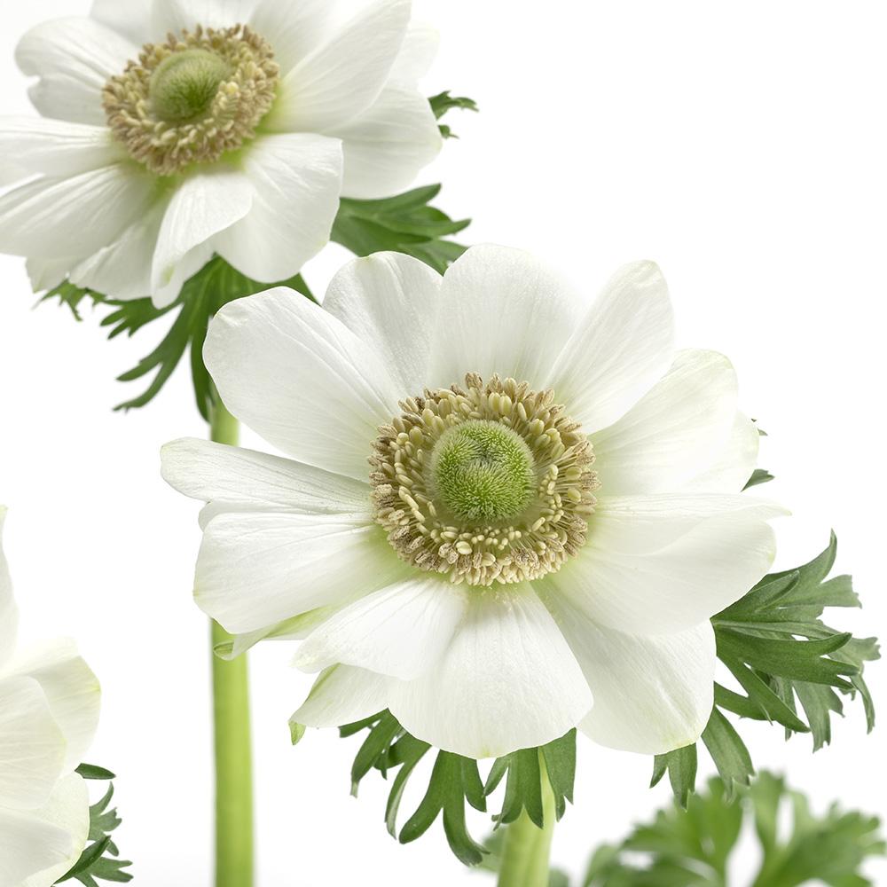 Anemone Harmony White Impr.