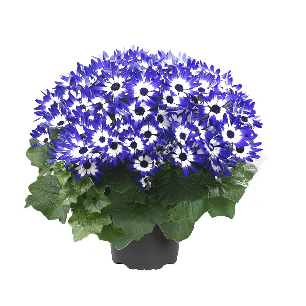 Pericallis Senetti® Blue Bicolor 15℗