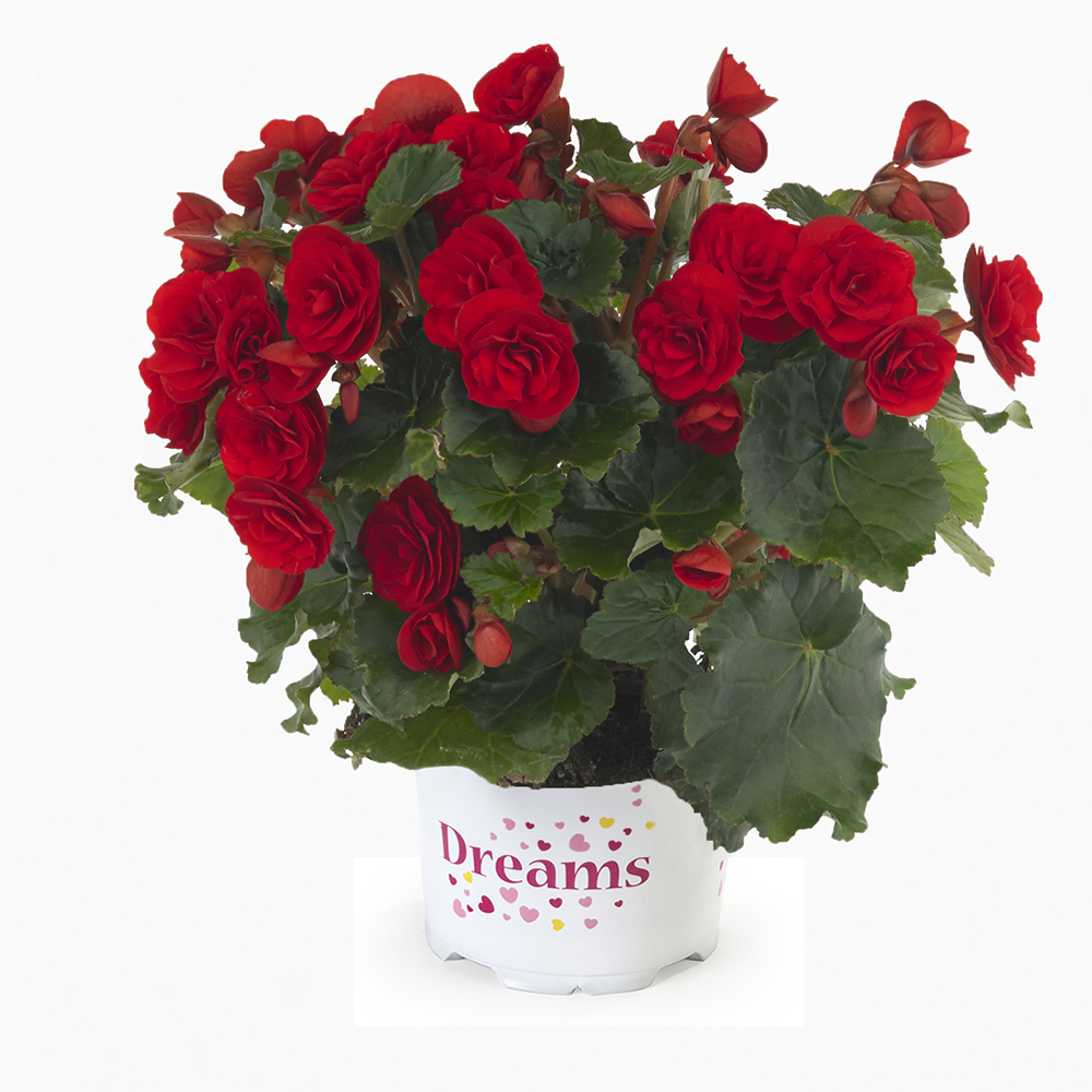 Begonia BK Collection Carmen Red℗