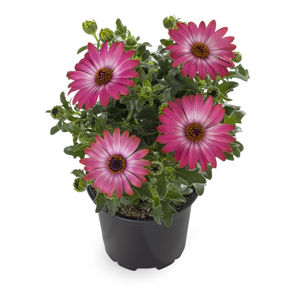 Osteospermum Sunny Hot Pink Halo℗
