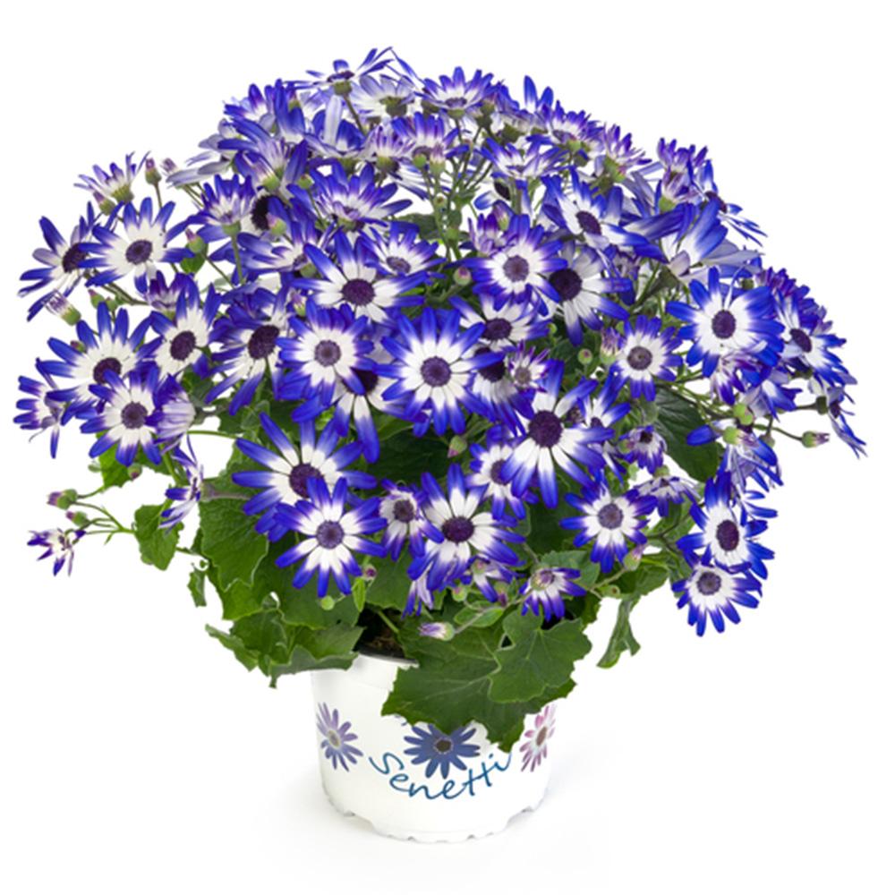 Pericallis Senetti® Blue White Impr.℗