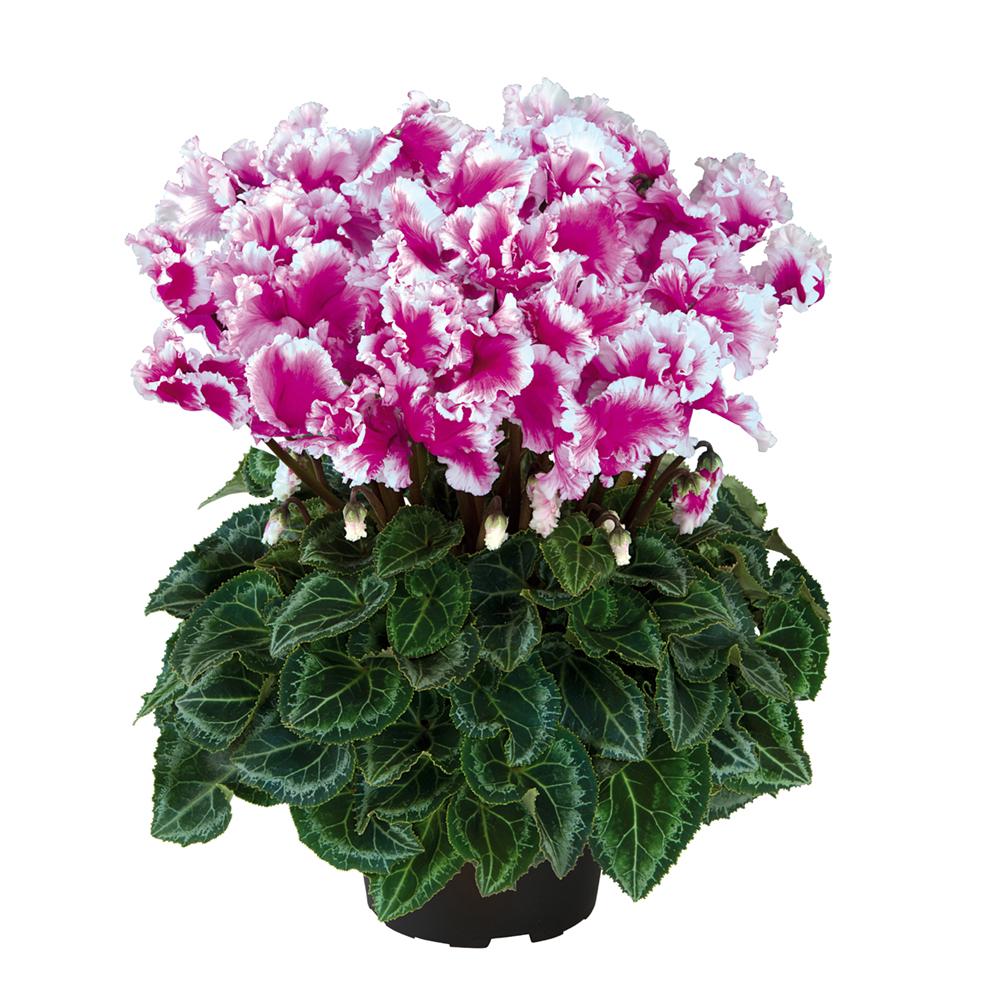 Cyclamen Halios® Friola Violet 22490