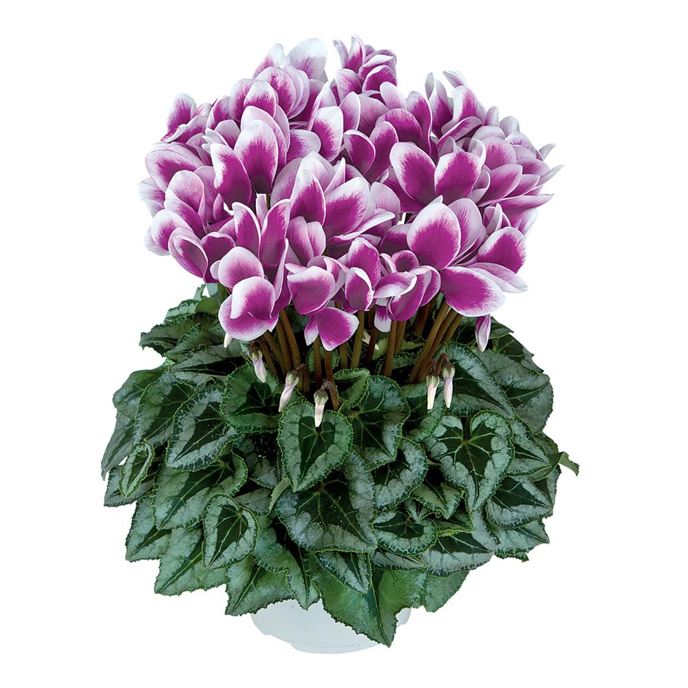 Cyclamen Halios® Fantasia Decora Violet Fonce 2396