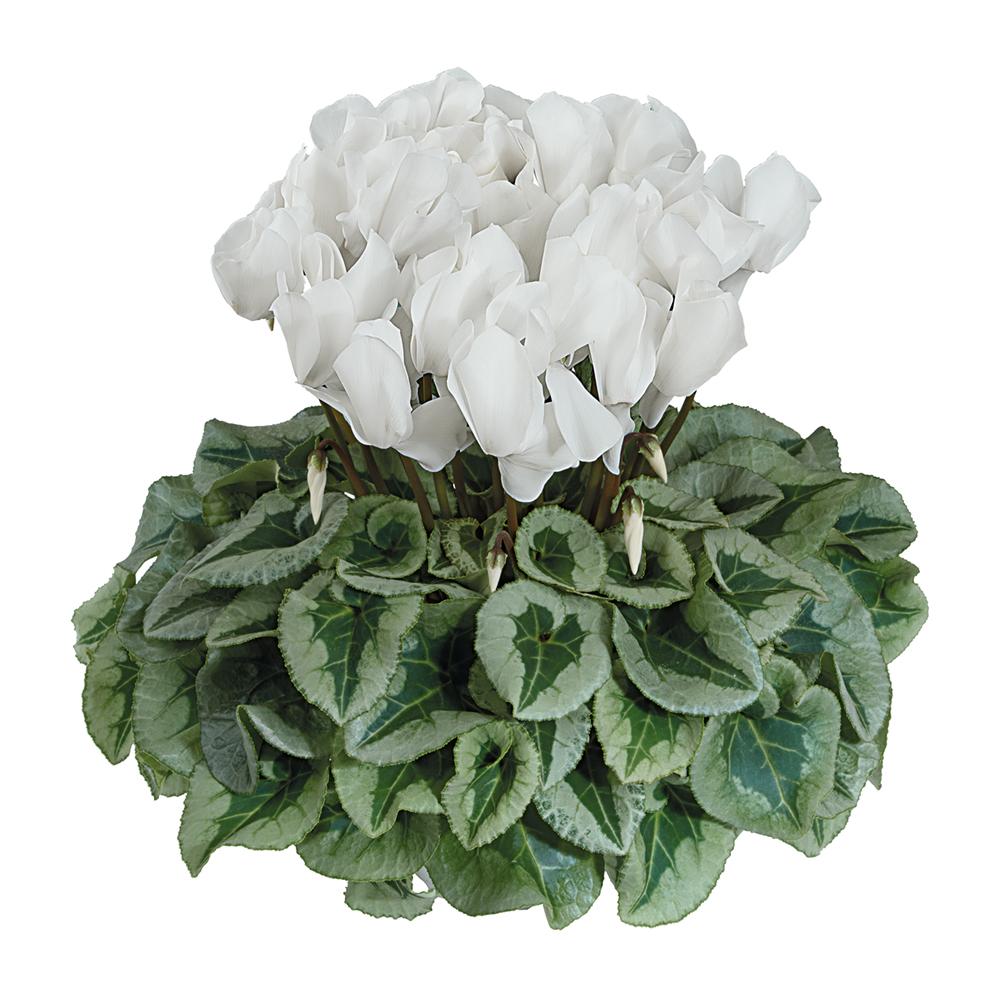 Cyclamen Halios® Decora Blanc 2228