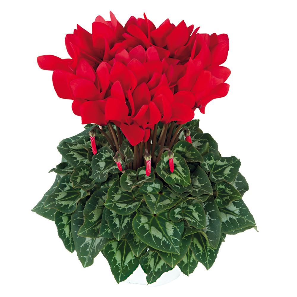 Cyclamen Halios® Curly Ecarlate Vif 2415