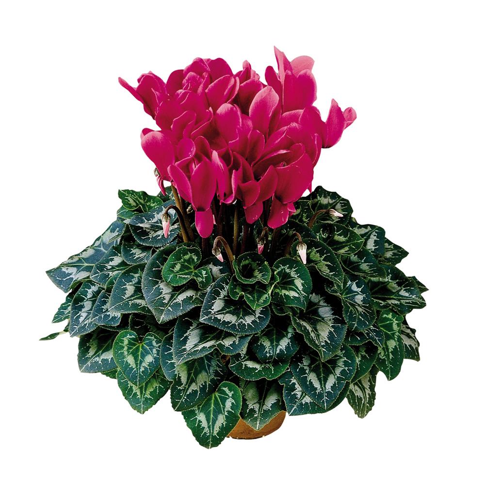 Cyclamen Halios® Fuchsia Vif 2071