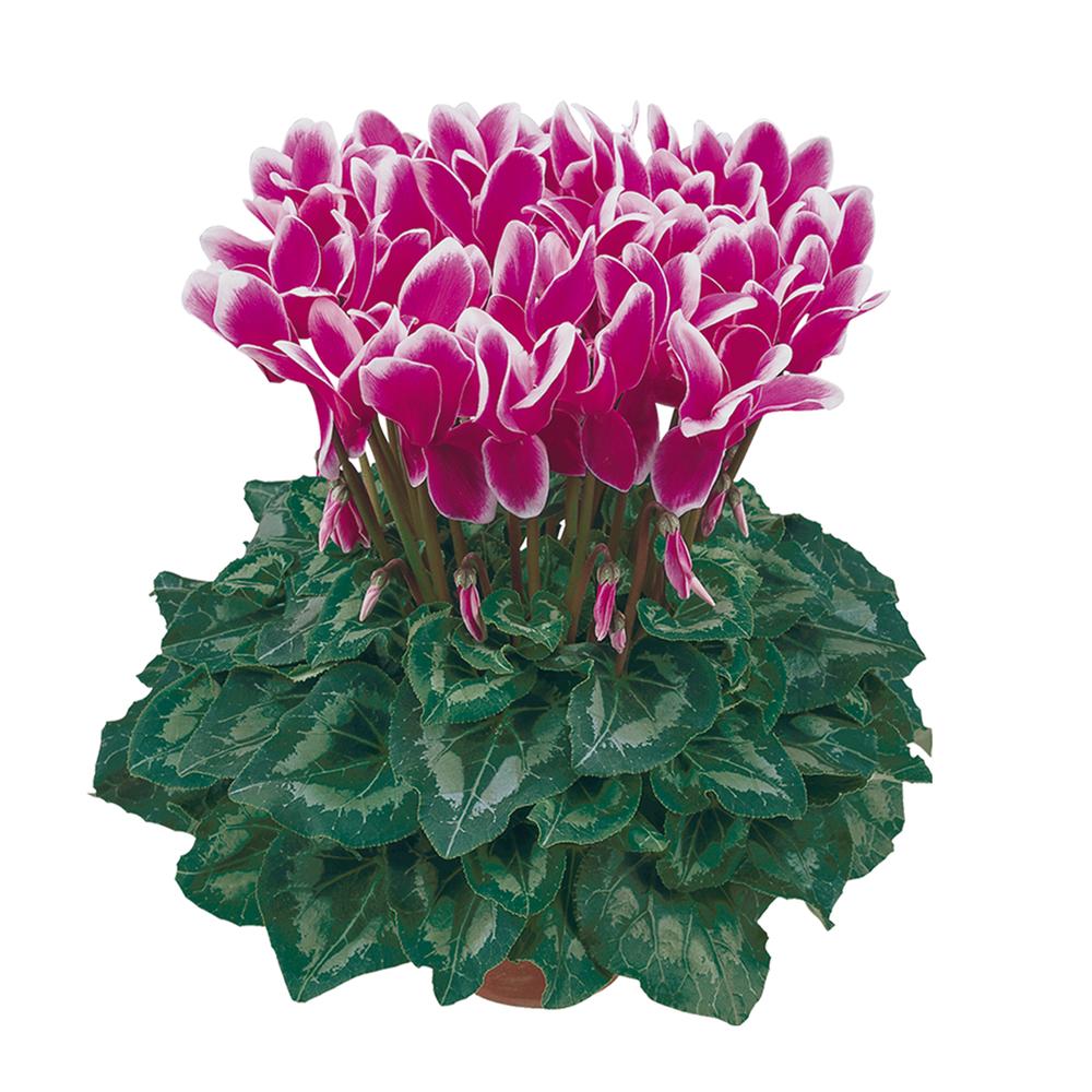 Cyclamen Halios® Fantasia Violet Fonce 2395