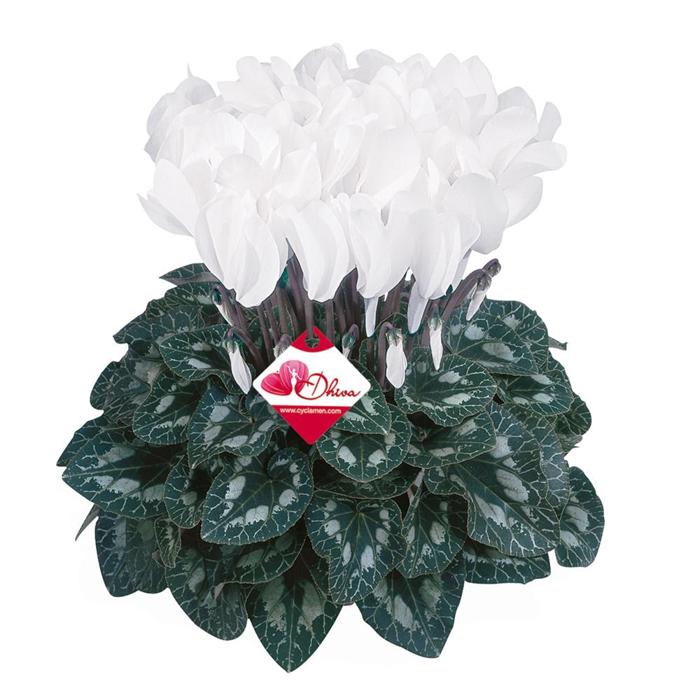 Cyclamen Halios® Dhiva Blanc Pur 2620