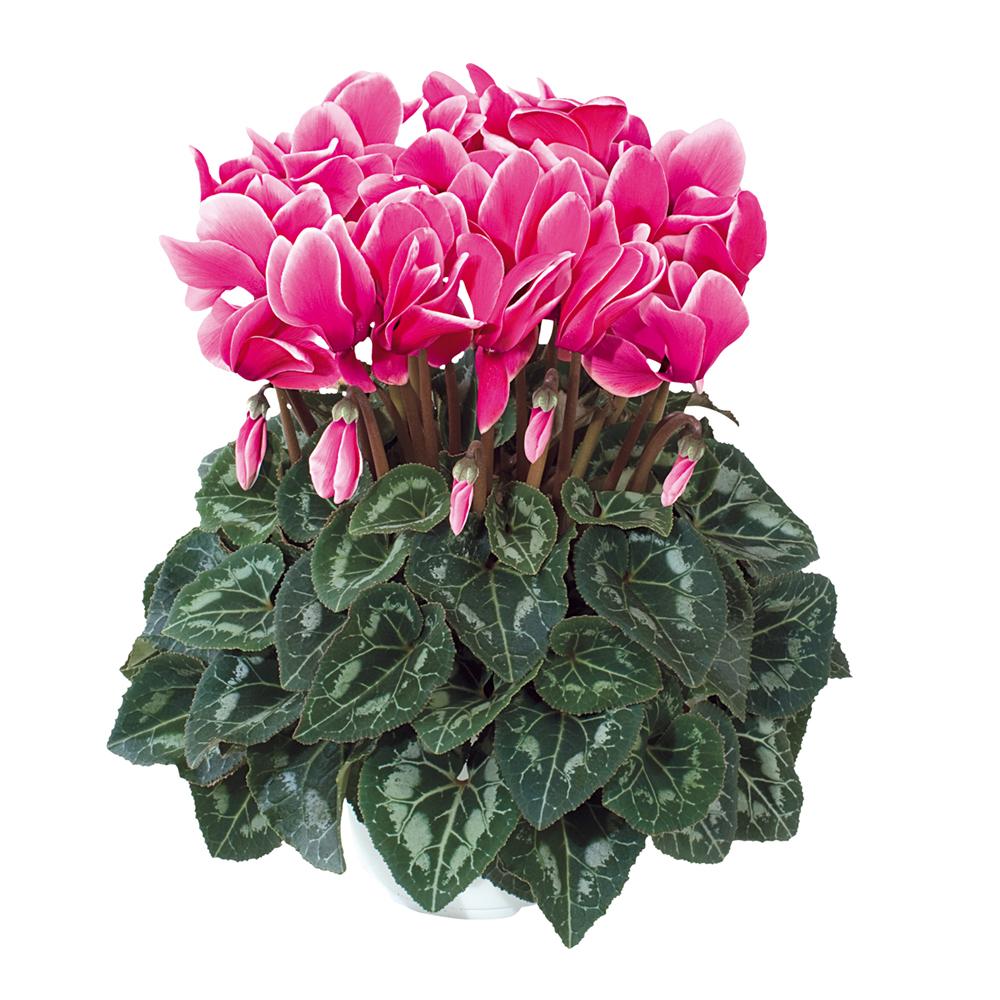 Cyclamen Halios® Fantasia Fuchsia Vif 2371