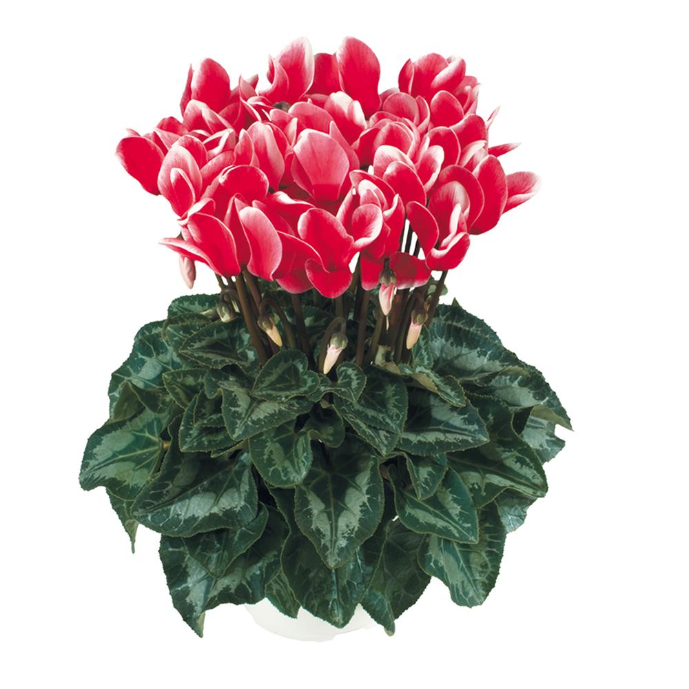 Cyclamen Halios® Fantasia Rouge 2311