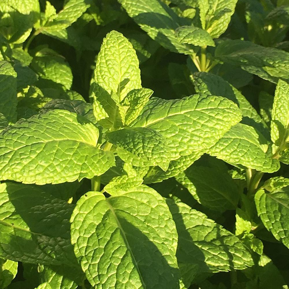 Mentha Garden Mint