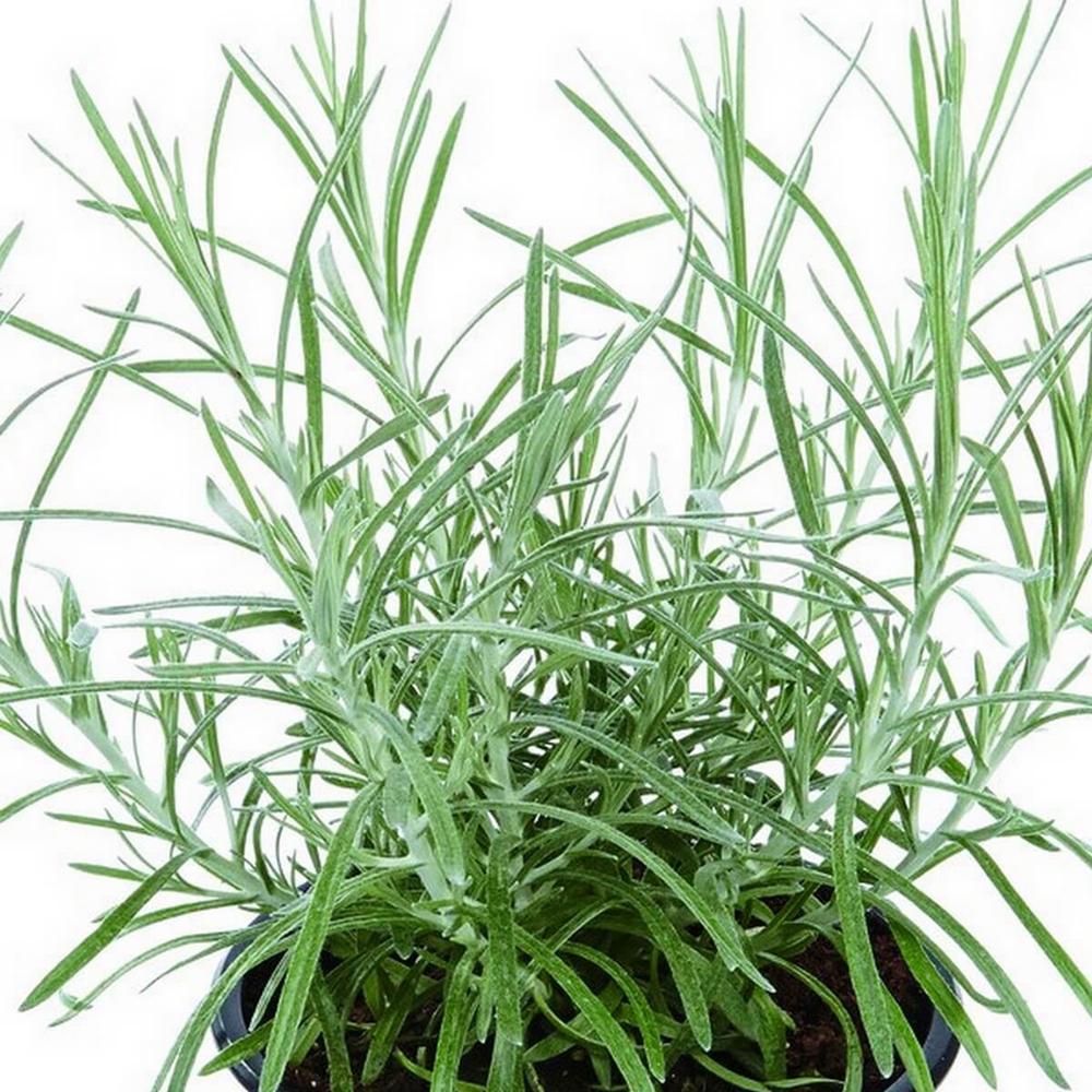 Helichrysum Kari (Curry Plant)