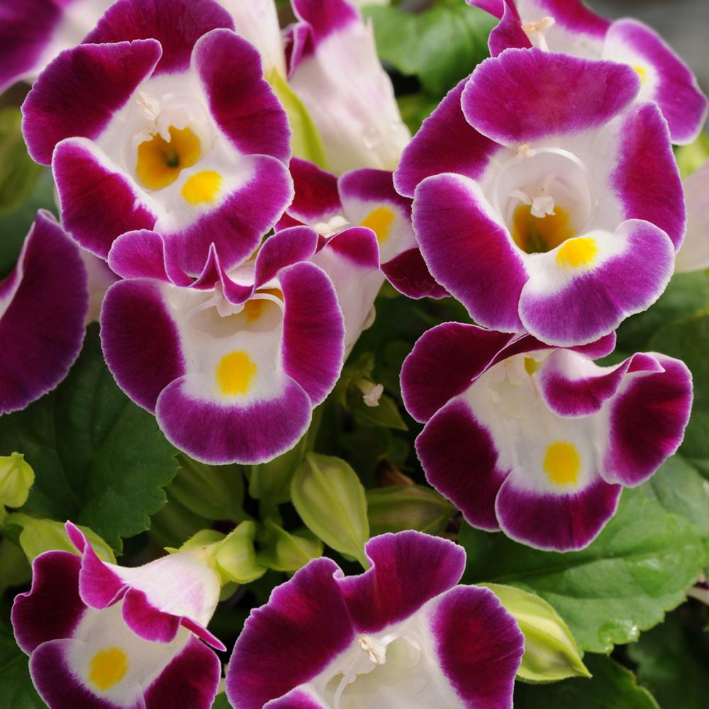 Torenia Kauai Burgundy