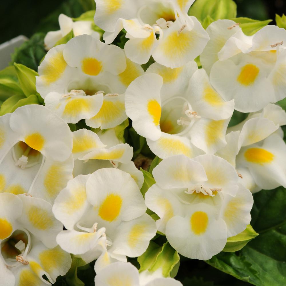 Torenia Kauai Lemon Drop