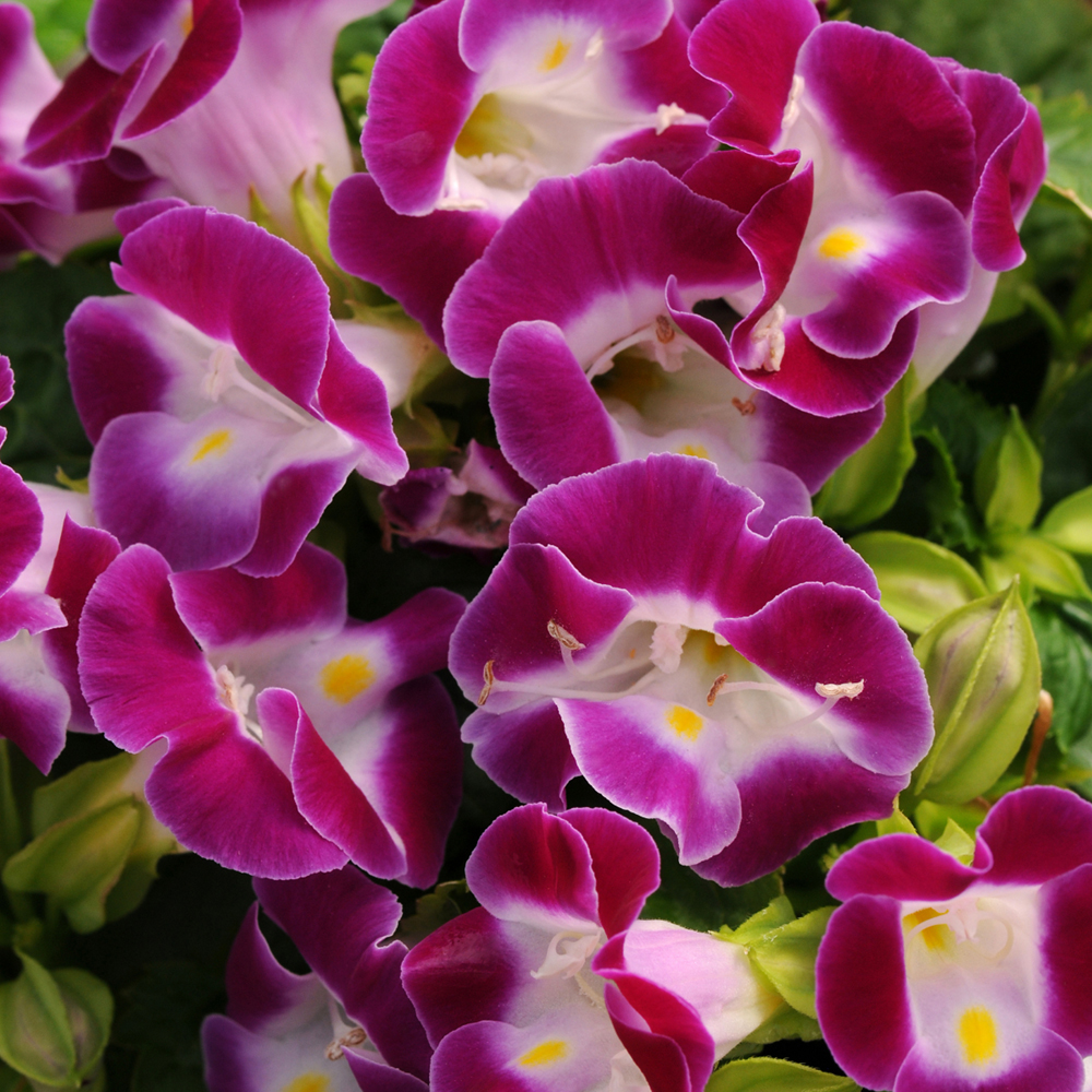 Torenia Kauai Magenta