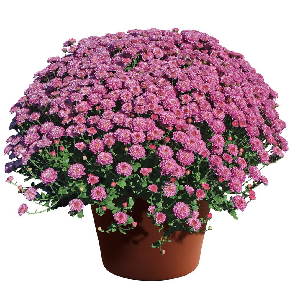 Chrysanthemum Gigi Dark Pink℗