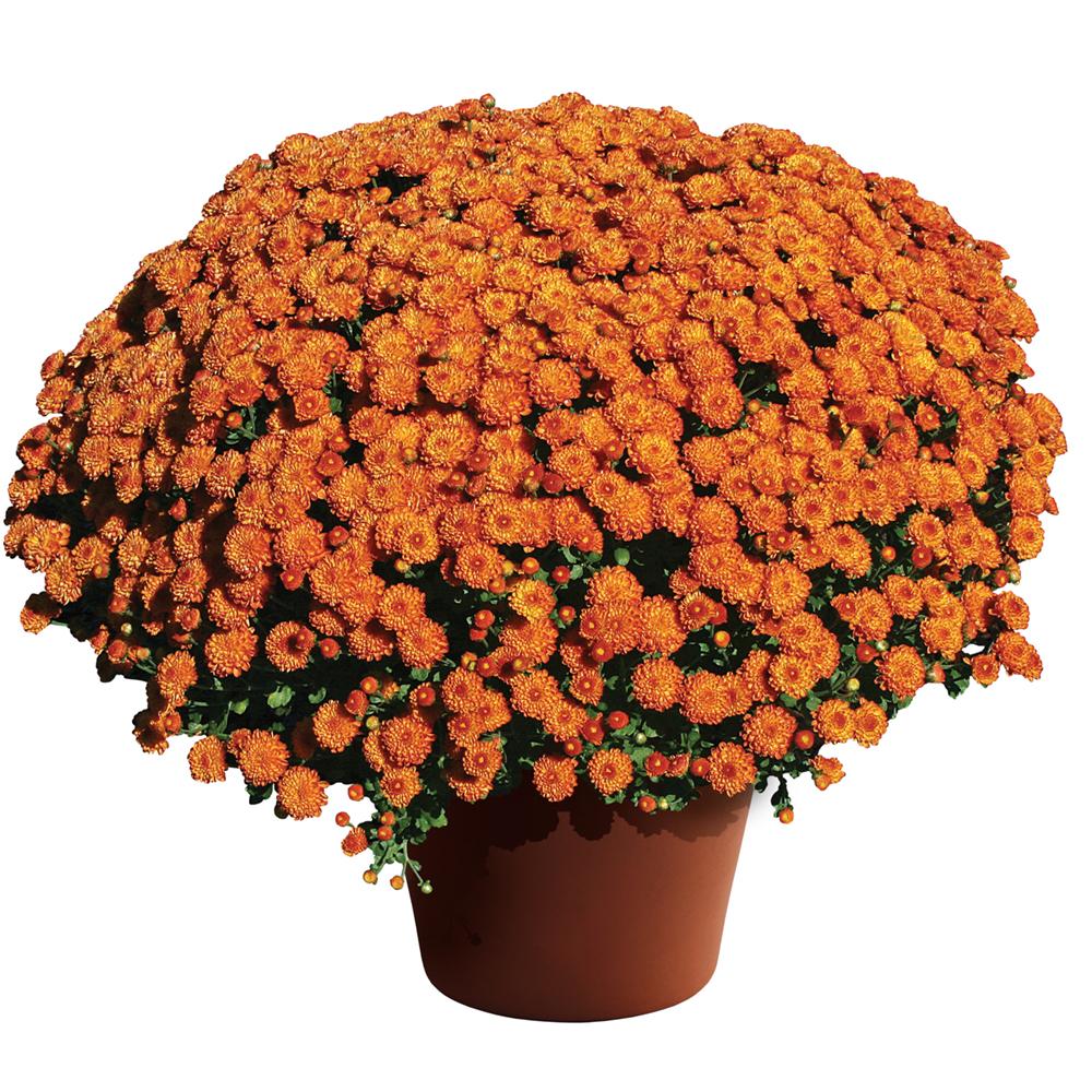 Chrysanthemum Gigi Orange℗