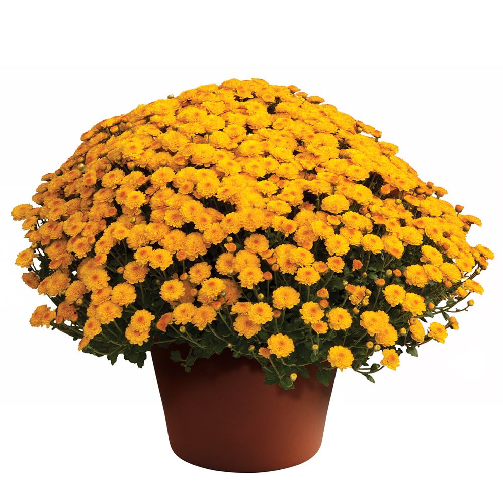 Chrysanthemum Gigi Golden Yellow℗