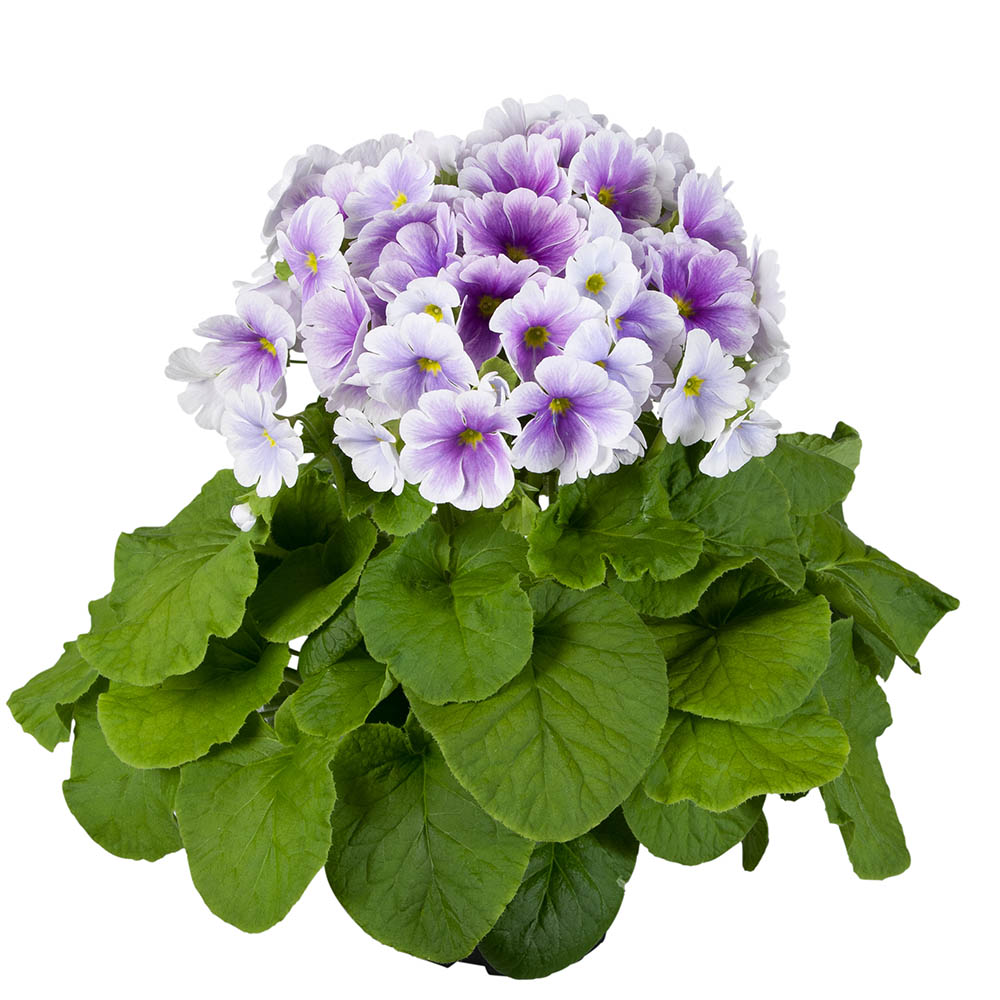 Primula Touch Me® Large Blue-White