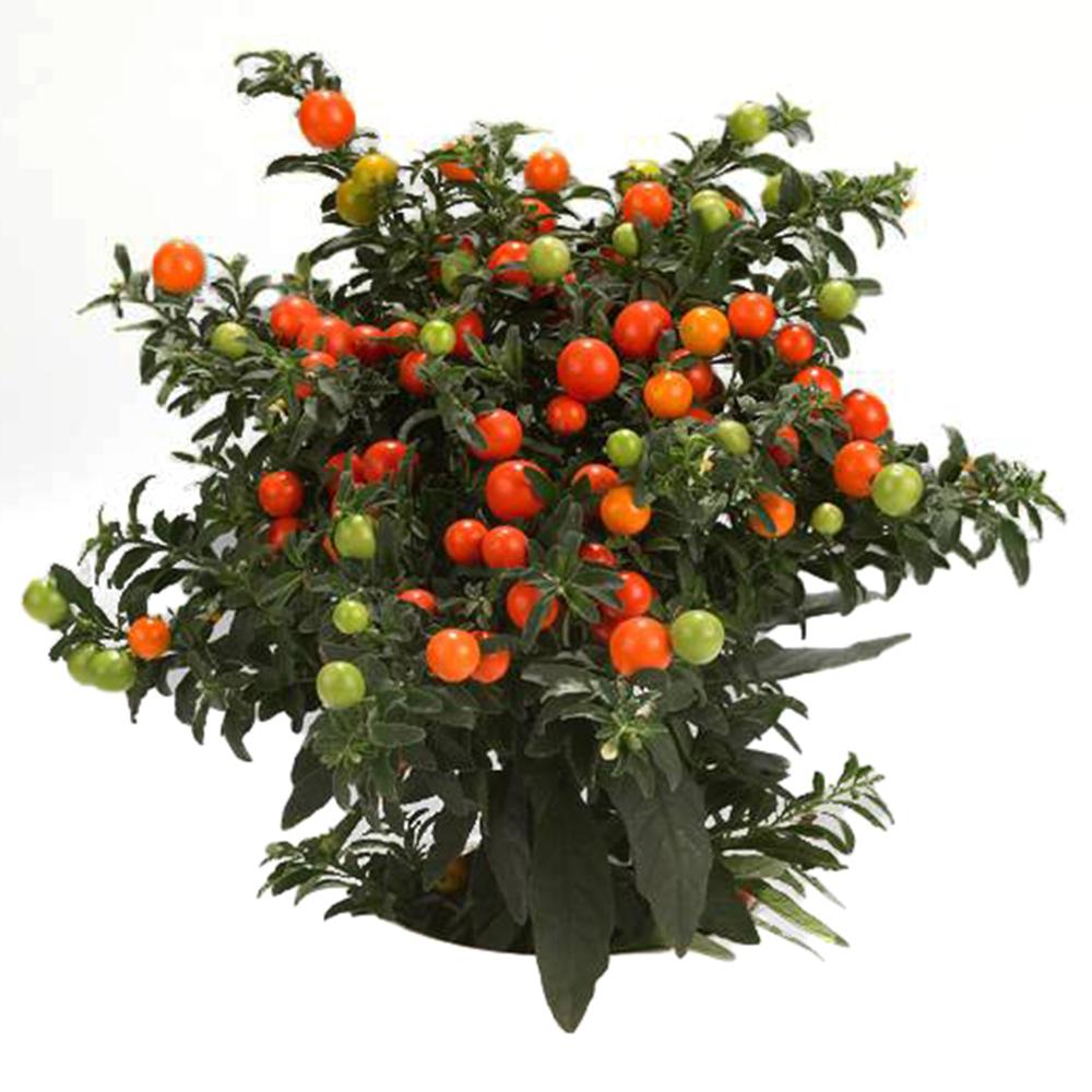 Solanum Thurino Light