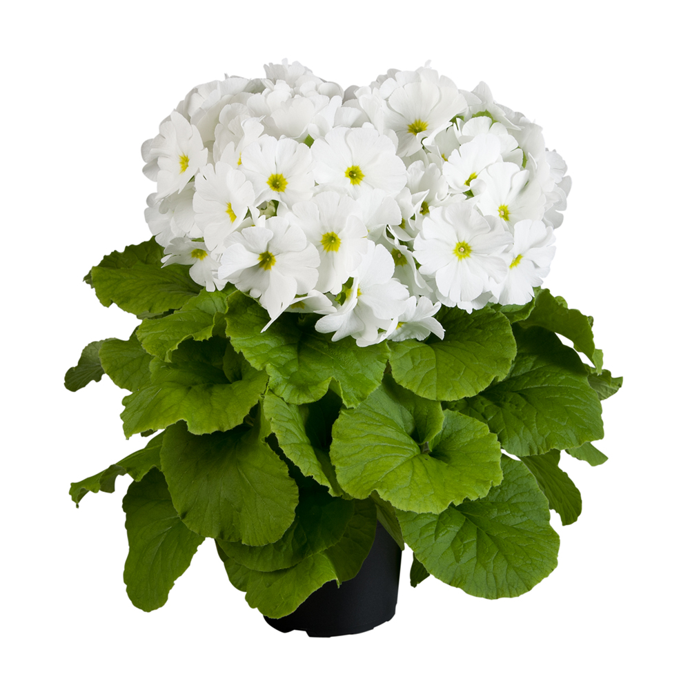 Primula Touch Me® Large White