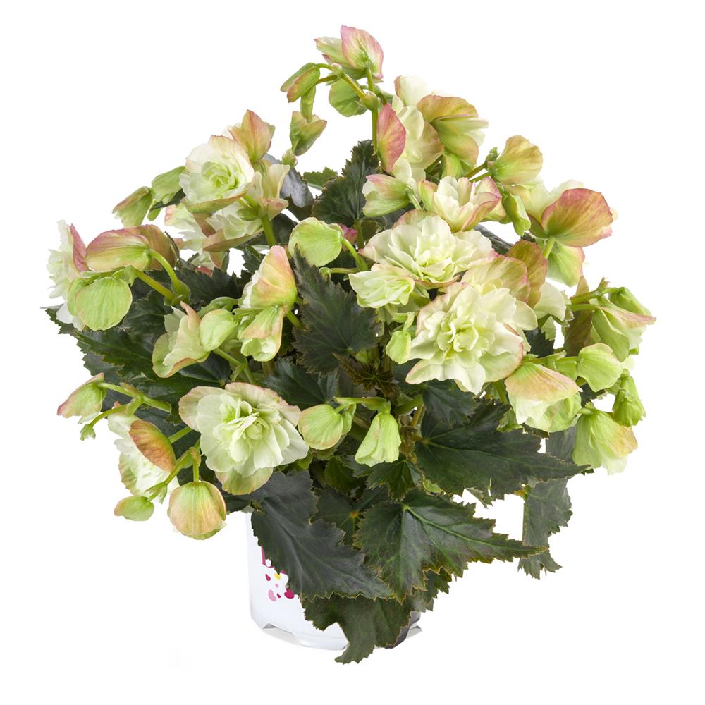 Begonia BK Collection Frivola Magic℗
