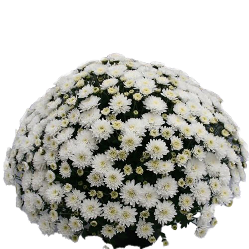 Chrysanthemum Branfountain White
