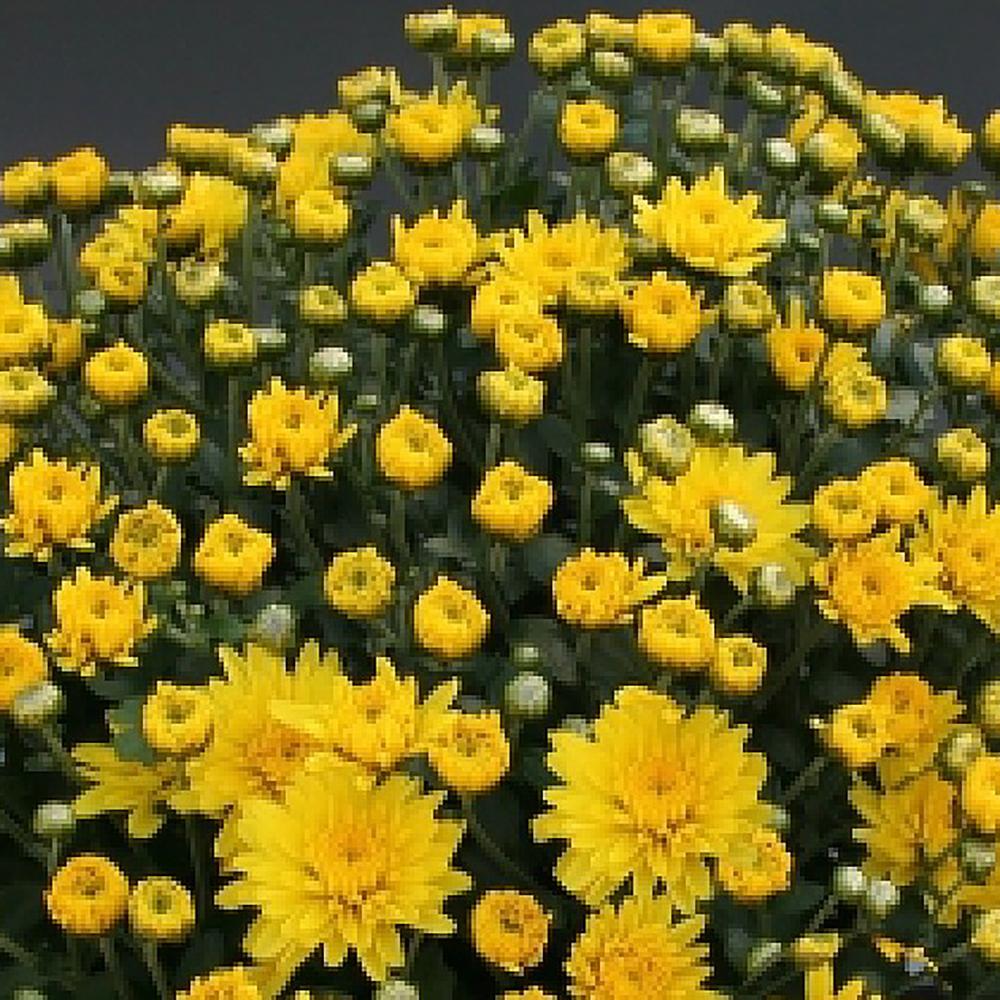 Chrysanthemum Branfountain Yellow