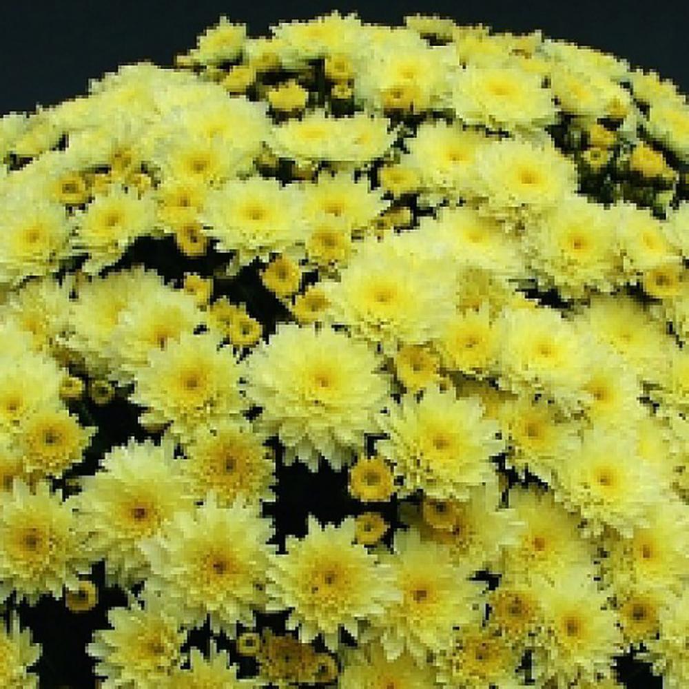 Chrysanthemum Branfountain Lemon
