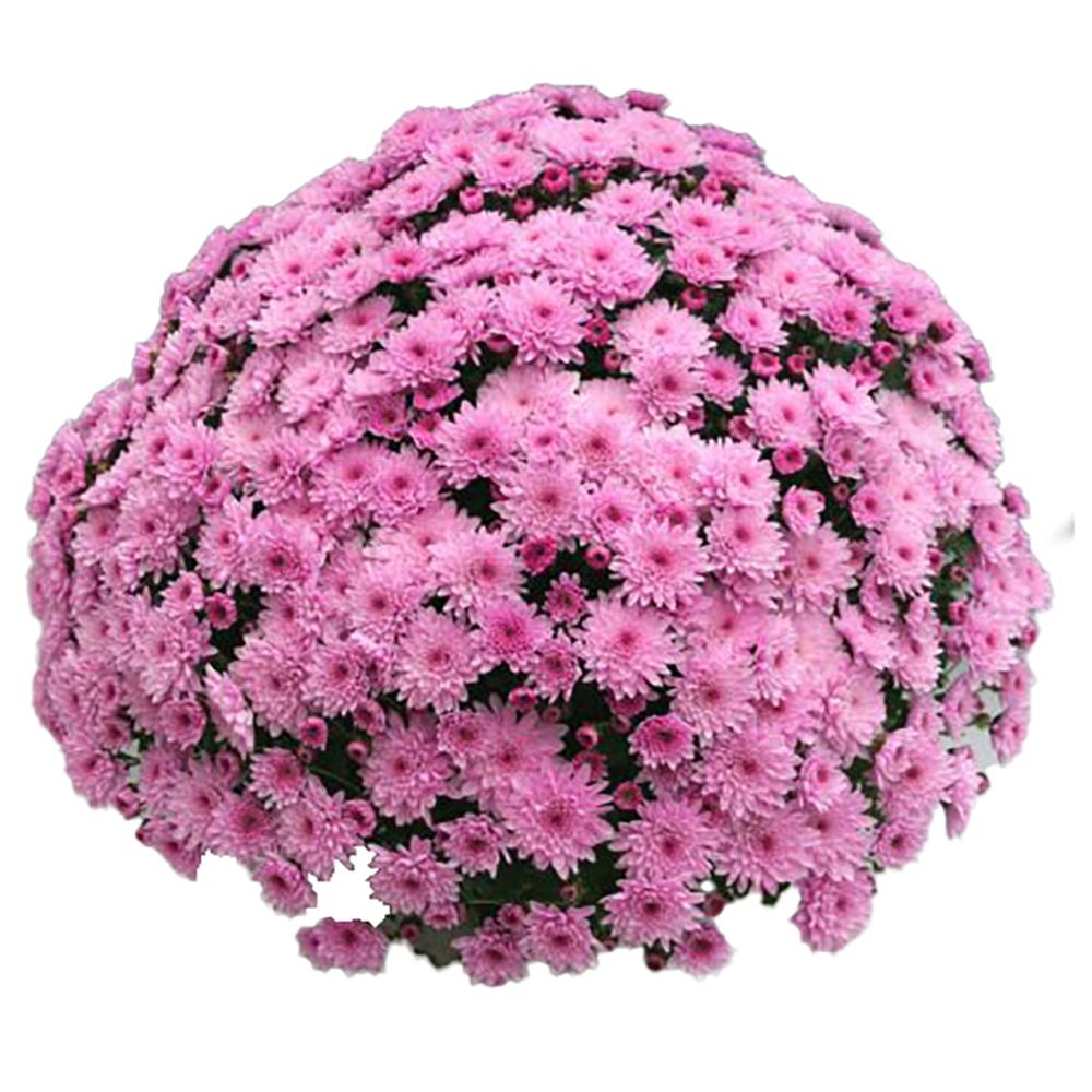 Chrysanthemum Branfountain Pink