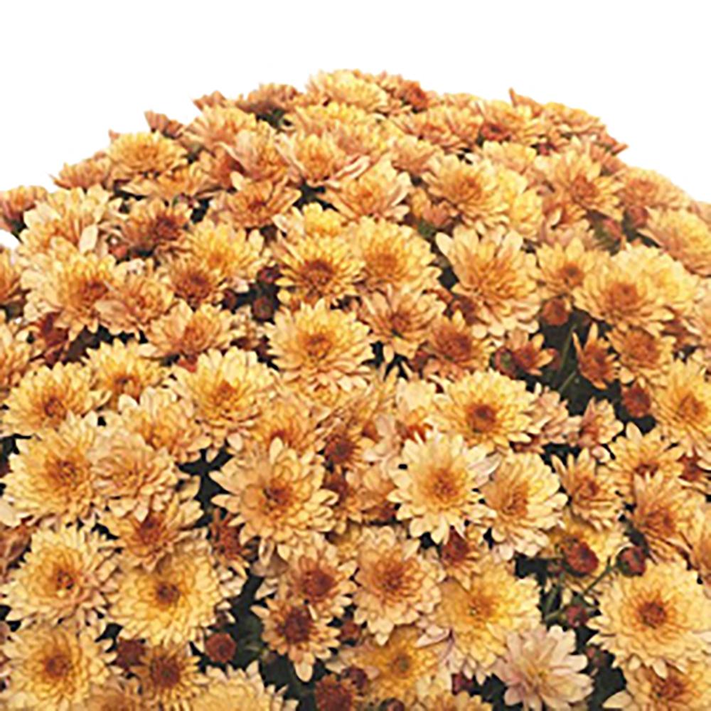 Chrysanthemum Branfountain Apricot