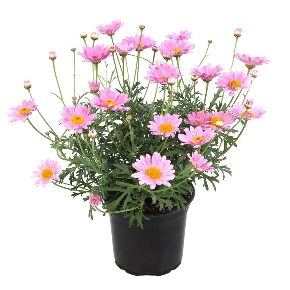 Argyranthemum Simba Pink With Eye℗